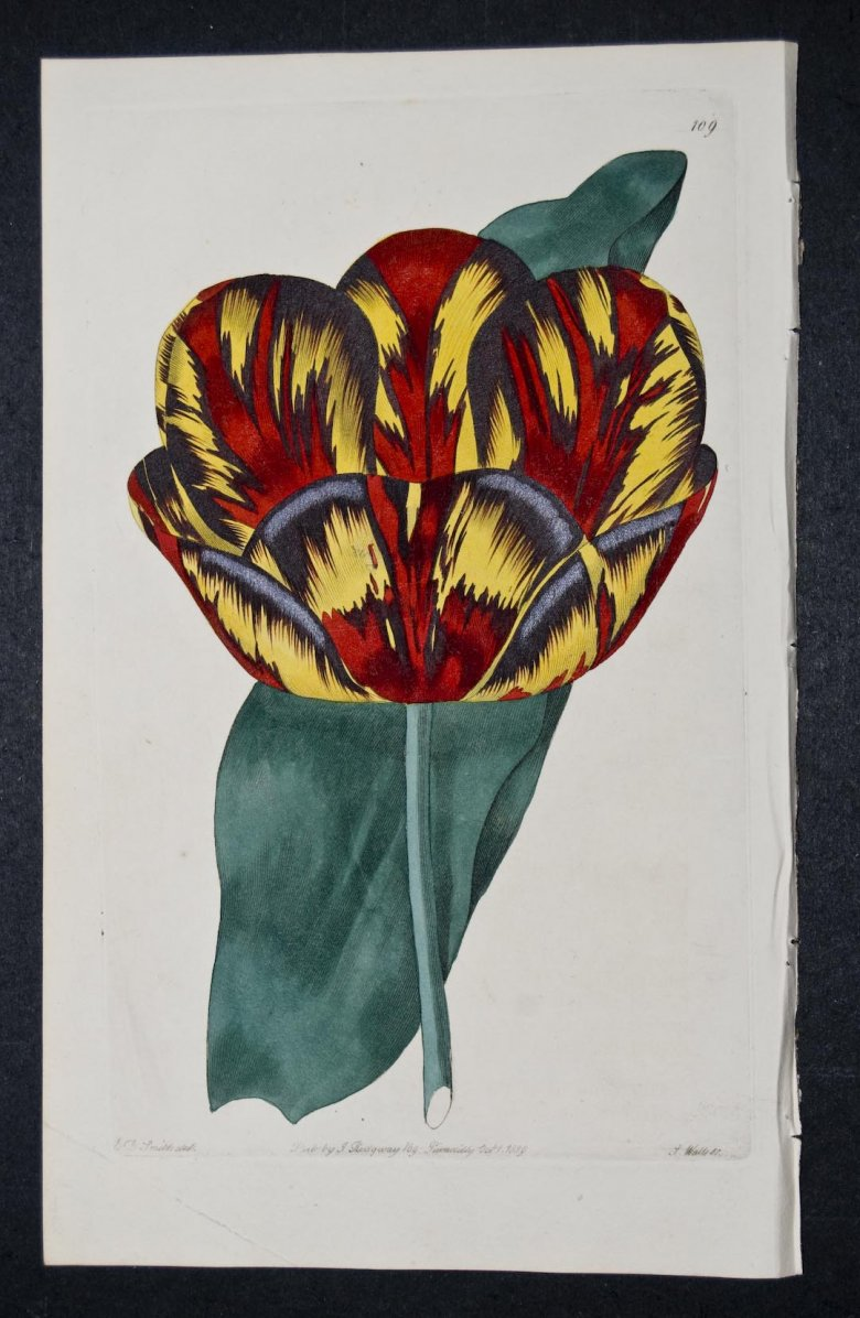 Titian Tulip - an extinct English Florists tulip.
