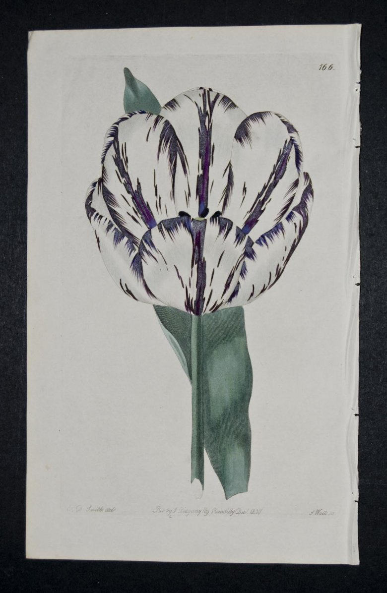 Violet a Belle Forme Tulip - an extinct English Florists tulip.