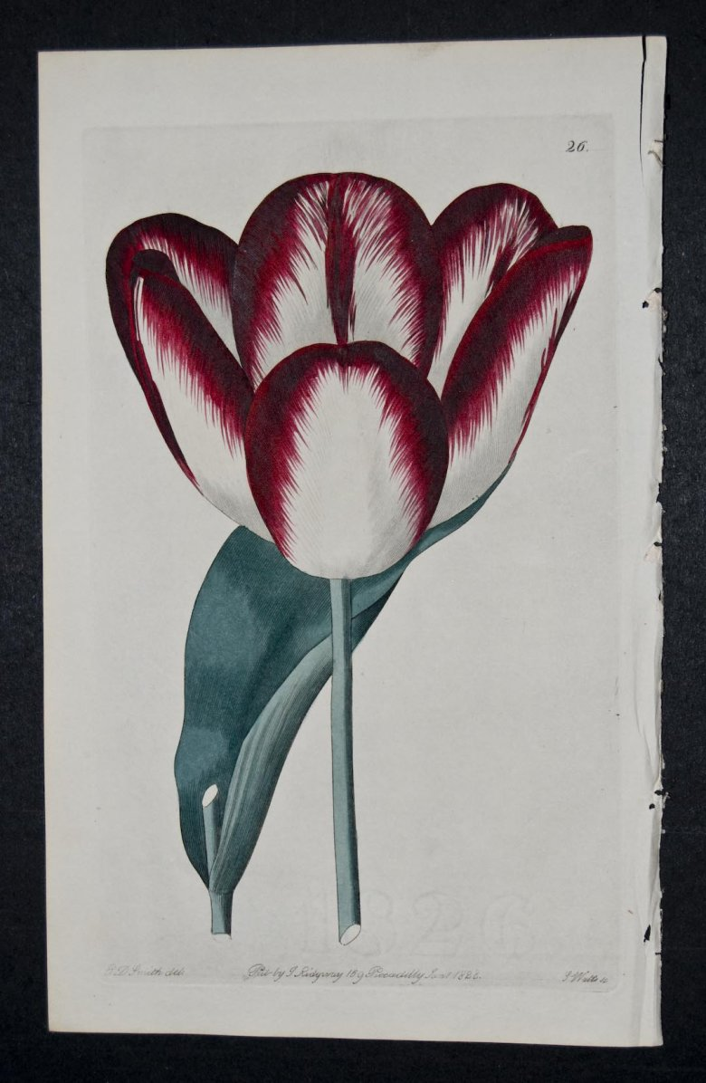 Walworth Tulip - an extinct English Floirsts tulip.