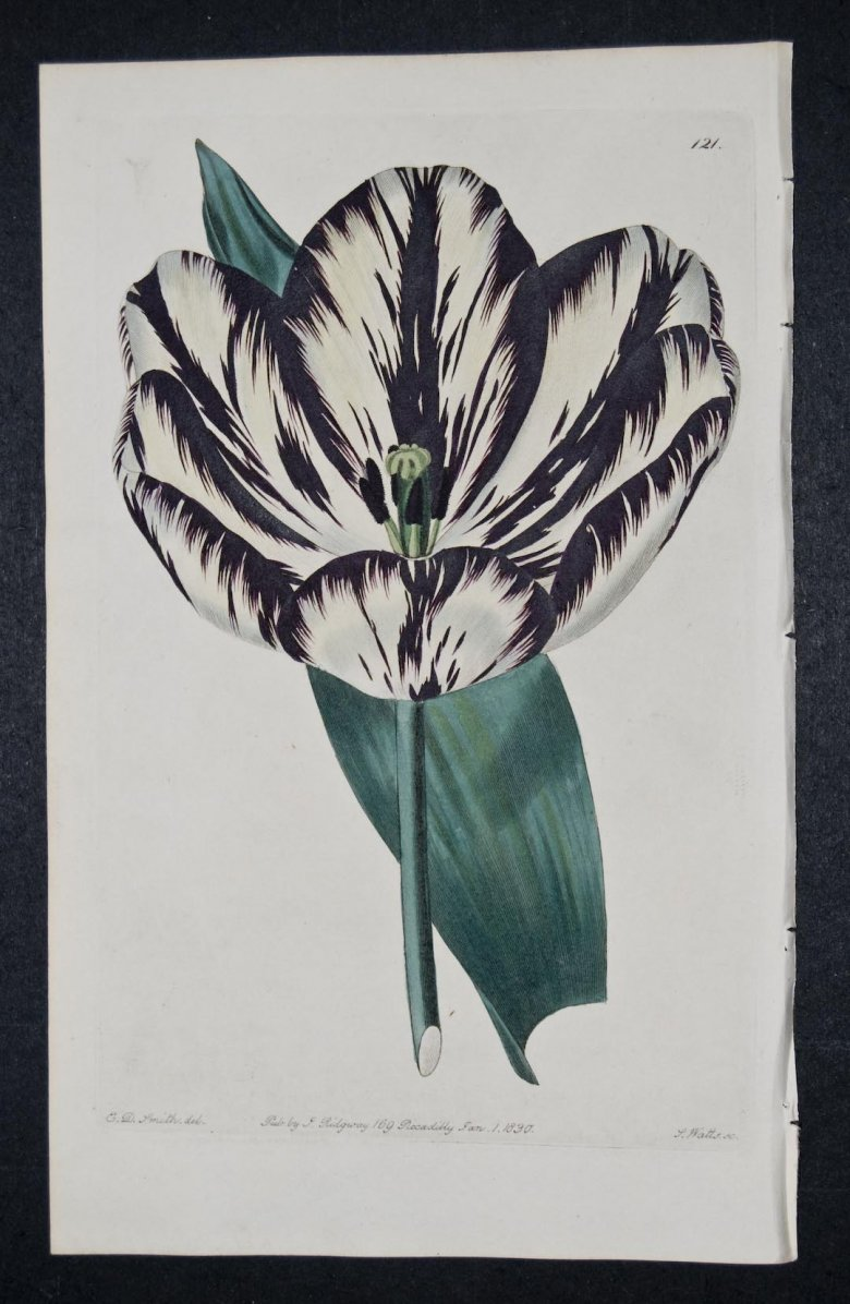 Wilmer's Duke of York Tulip - an extinct English Florists tulip.